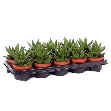 Aloe mitriformis 10,5 cm