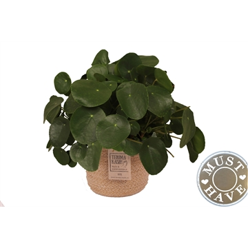 Pilea Peperomiodes in jutte mand ''must have''