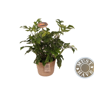 Philodendron ''Trophy'' in jutte mand ''must have''
