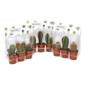3er blister cactus pricky