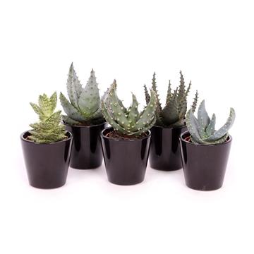 Aloe zwart konische pot