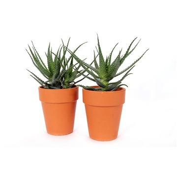 Aloe arborescens terracotta pot