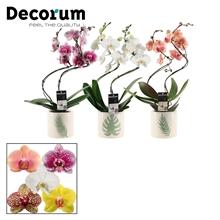 Phalaenopsis hurricane mix in Manouk (Dream Spirit-collection)