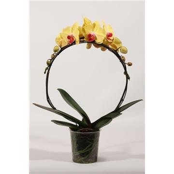 Phalaenopsis boog Goldion (Decorum)