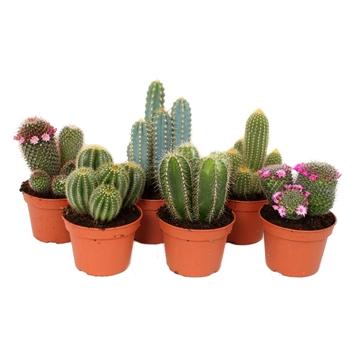 Cactus 15 cm mix