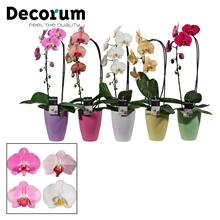 Phalaenopsis cascade 1 tak mix in Carly pastel mix (Deco-coll.)