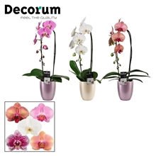 Phalaenopsis cascade 1 tak mix in Pearl pink (Deco-collection)
