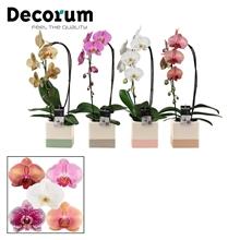 Phalaenopsis cascade 1 tak mix in Qube (Dream Spirit-collection)