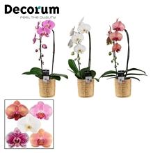 Phalaenopsis cascade 1 tak mix in Yuki mand (Deco-collection)