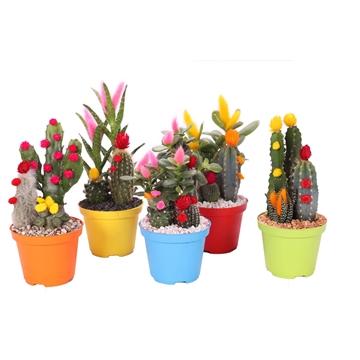 Cactus – Succulenten disco in plastic gekleurde pot + geplakt grind