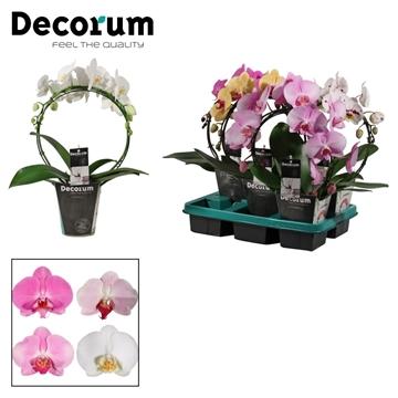 Phalaenopsis boog mix 5 kleuren (Decorum)