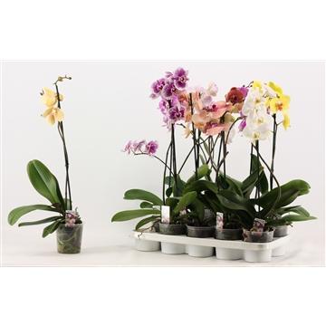 Phalaenopsis 1 tak A2