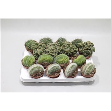 Cactus Cristata (exclusive) Mix