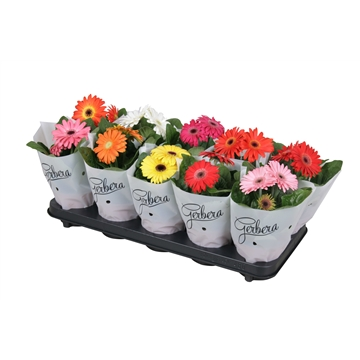 Gerbera belicht 2+basic in frosted hoes kort
