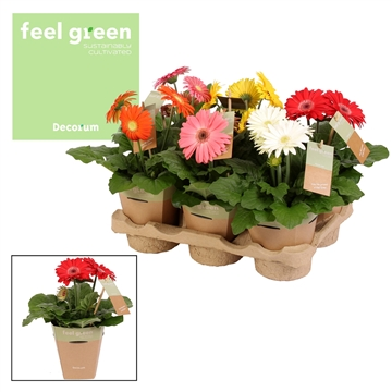 Gerbera 2+ bl. Feel Green, nature pc