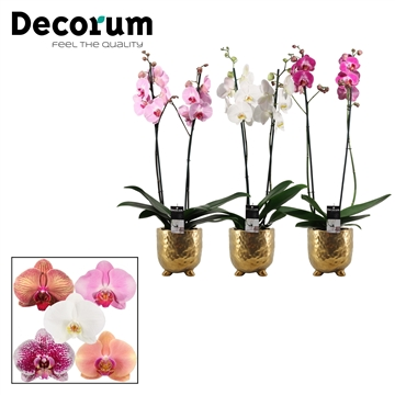 Phalaenopsis 2 tak mix in Sigma (Deco-collection)