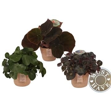 Begonia Groen Mix in jutte mand