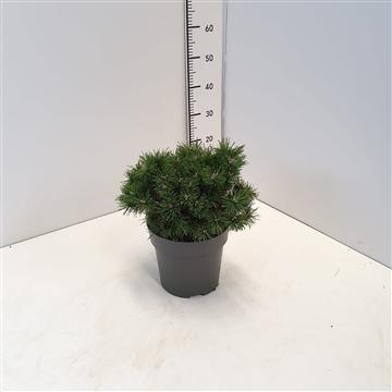 Pinus mugo 'Allgau' 20-25C5