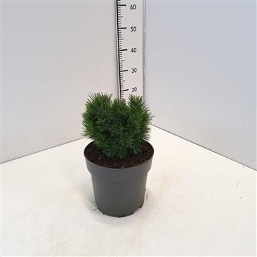 Pinus mugo 'Heideperle' 15-20C5