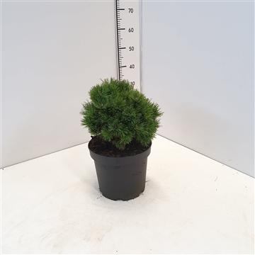 Pinus mugo 'Hedeperle' 20-25C7.5