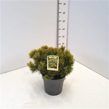 Pinus mugo 'Carsten's Winter Gold' 20-25C5