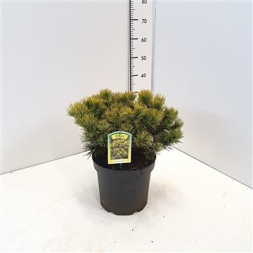 Pinus mugo 'Carsten's Winter Gold' 25-30C7.5