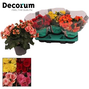 Begonia gemengd in tray(3 kleuren)