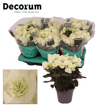 Begonia ''joy white'' 13cm Decorum