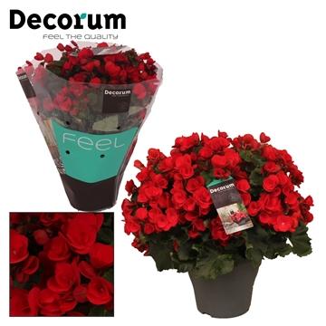 Begonia ''betulia'' red Decorum