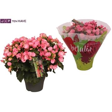 Begonia betulia ''candy'' roze