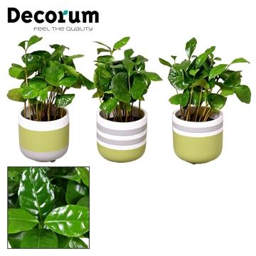 Coffea Arabica 7 cm in pot Alice (Decorum)