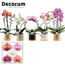 Phalaenopsis vormen mix 2 tak in Sparkle (Glam Empire-collect.)