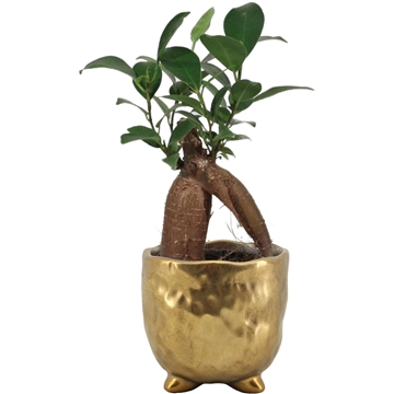 Ficus Ginseng Retusa 6 cm in Sigma (Deco-collection)