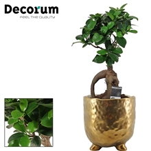 Ficus Ginseng Bonsai geënt 12 cm in Sigma (Deco-collection)