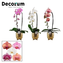 Phalaenopsis cascade 1 tak mix in Sigma (Deco-collection)