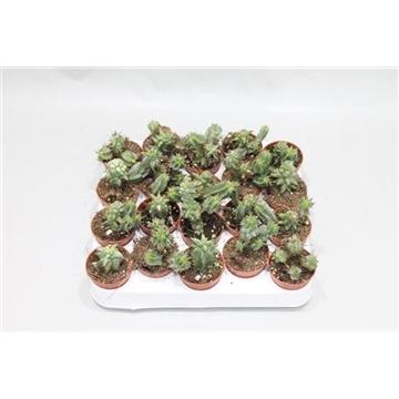 Euphorbia Monstruoza Ssp.
