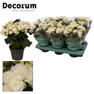 Begonia 'clara white' wit