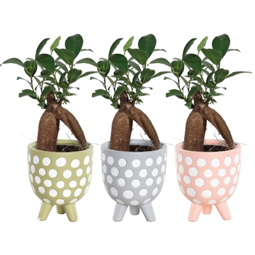 Ficus Ginseng Retusa 6 cm in Dots (Soft Illusion-collection)