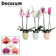 Phalaenopsis 2 tak mix in Dots (Soft Illusion-collection)