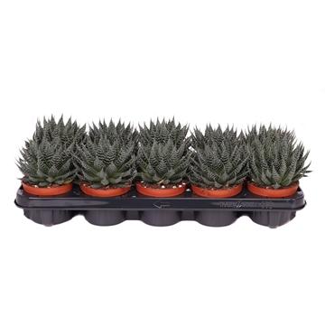 Aloe akila 10,5 cm
