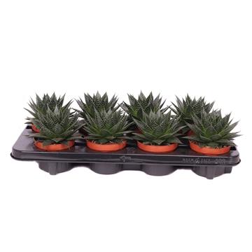 Aloe ami 10,5 cm
