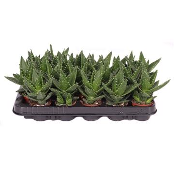 Aloe mitriformis 6 cm