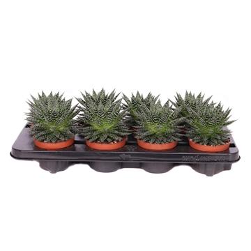 Aloe zambezi 10,5 cm
