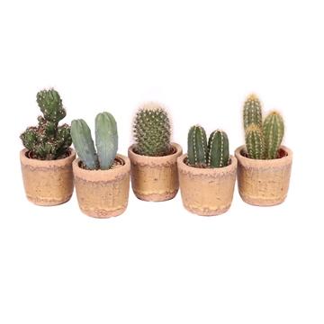 Cactus 5,5 cm mix in Anthony pot