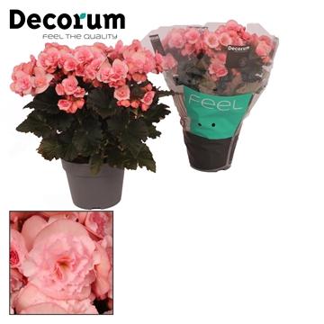 Begonia ''Joy Pink'' Licht Rose