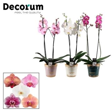 Phalaenopsis 2 tak mix in Femke (Passion)