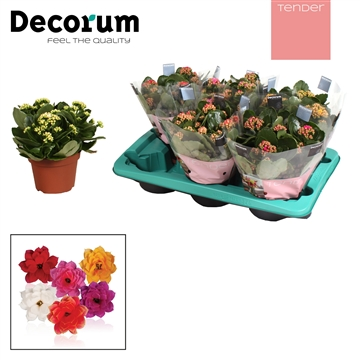 Kalanchoë Decorum TENDER - Serenity Mix