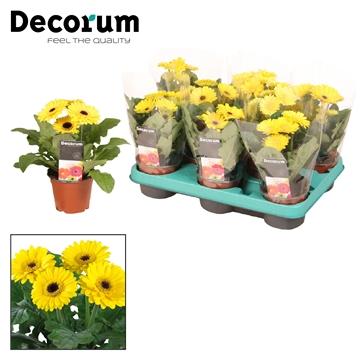 Gerbera  2+ bl. geel (diverse kleurtinten)  in hoes Decorum