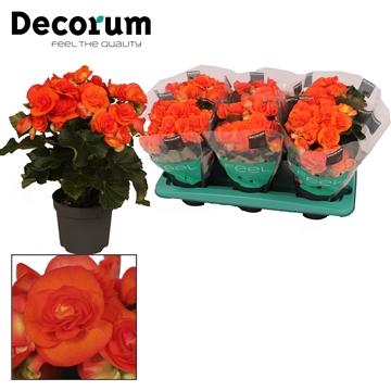 Begonia ''reina'' oranje 13 cm Decorum