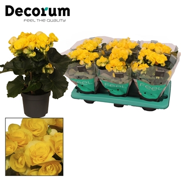 Begonia ''rebecca'' geel 13cm Decorum